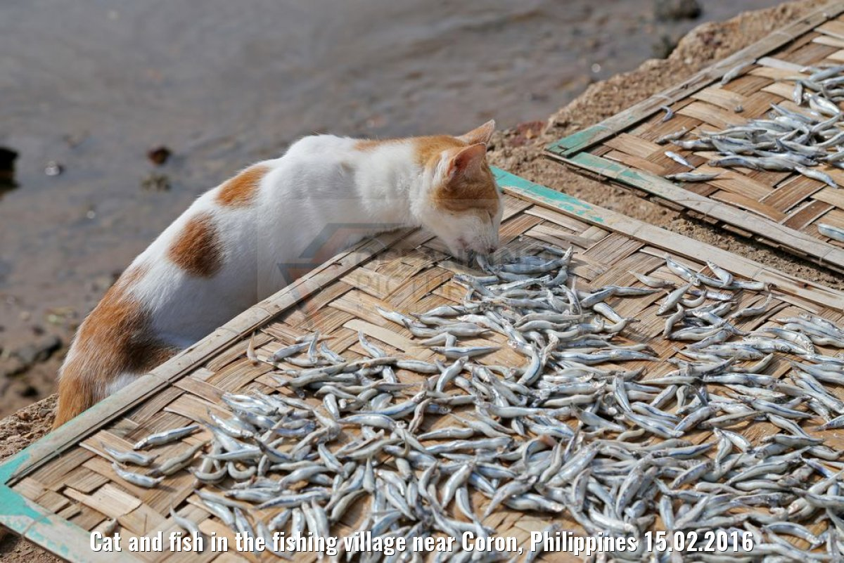 Cat and fish in the fishing village near Coron, Philippines 15.02.2016