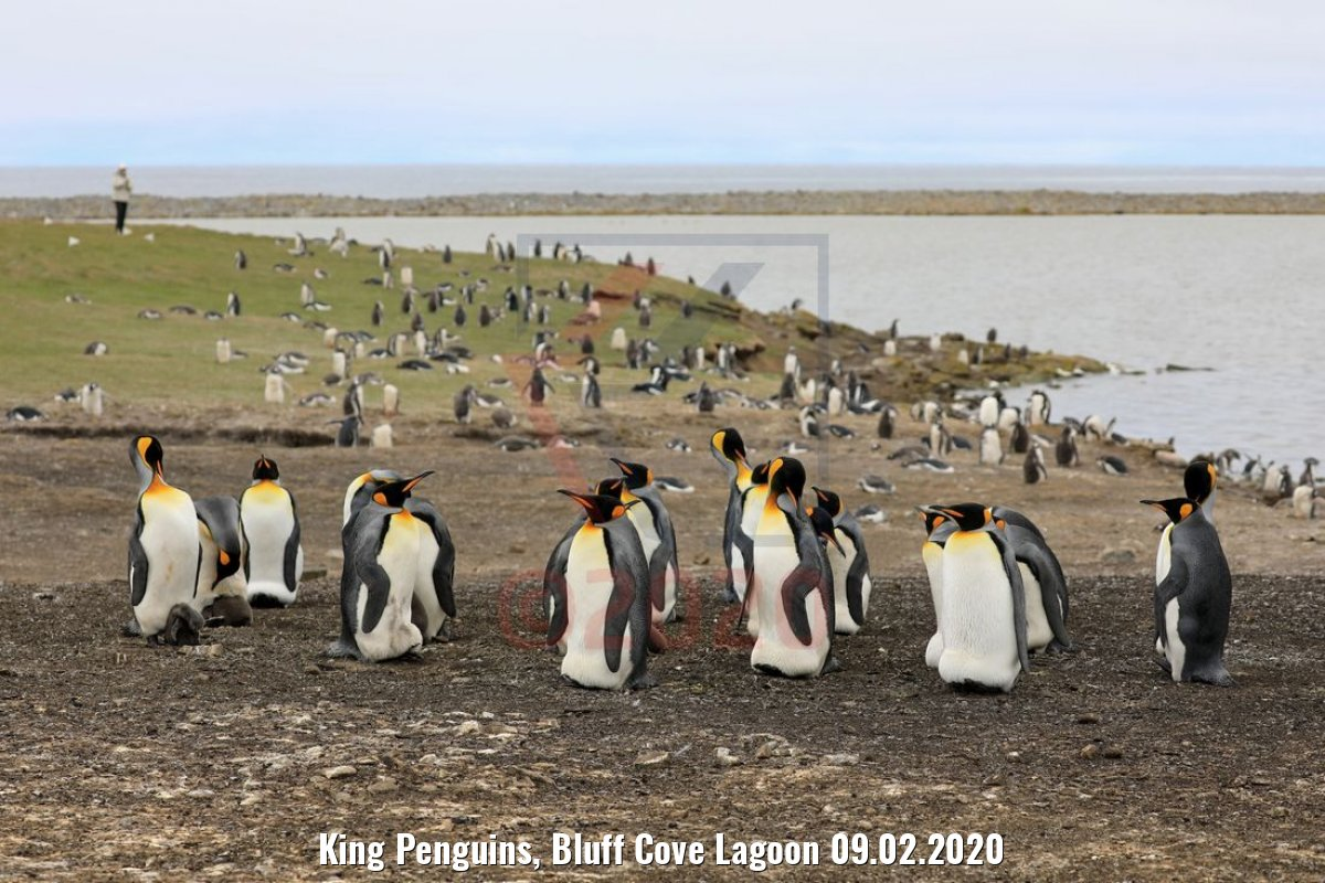 King Penguins, Bluff Cove Lagoon 09.02.2020