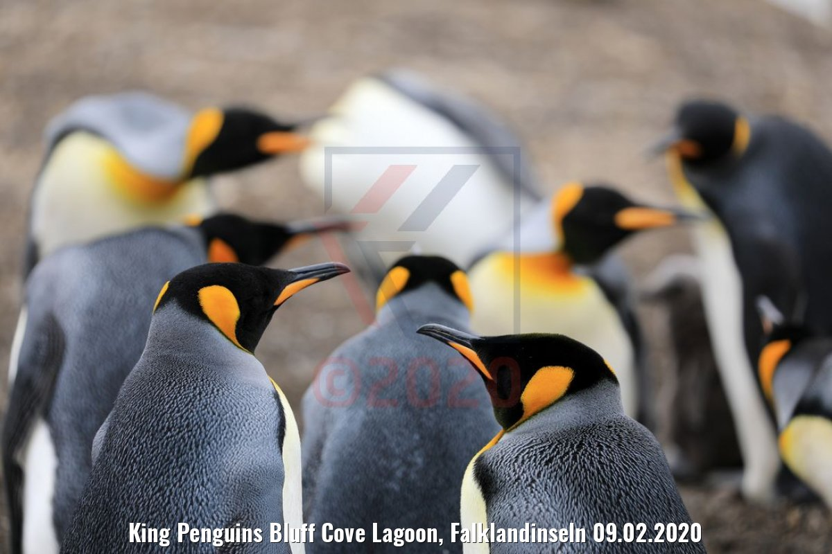 King Penguins Bluff Cove Lagoon, Falklandinseln 09.02.2020
