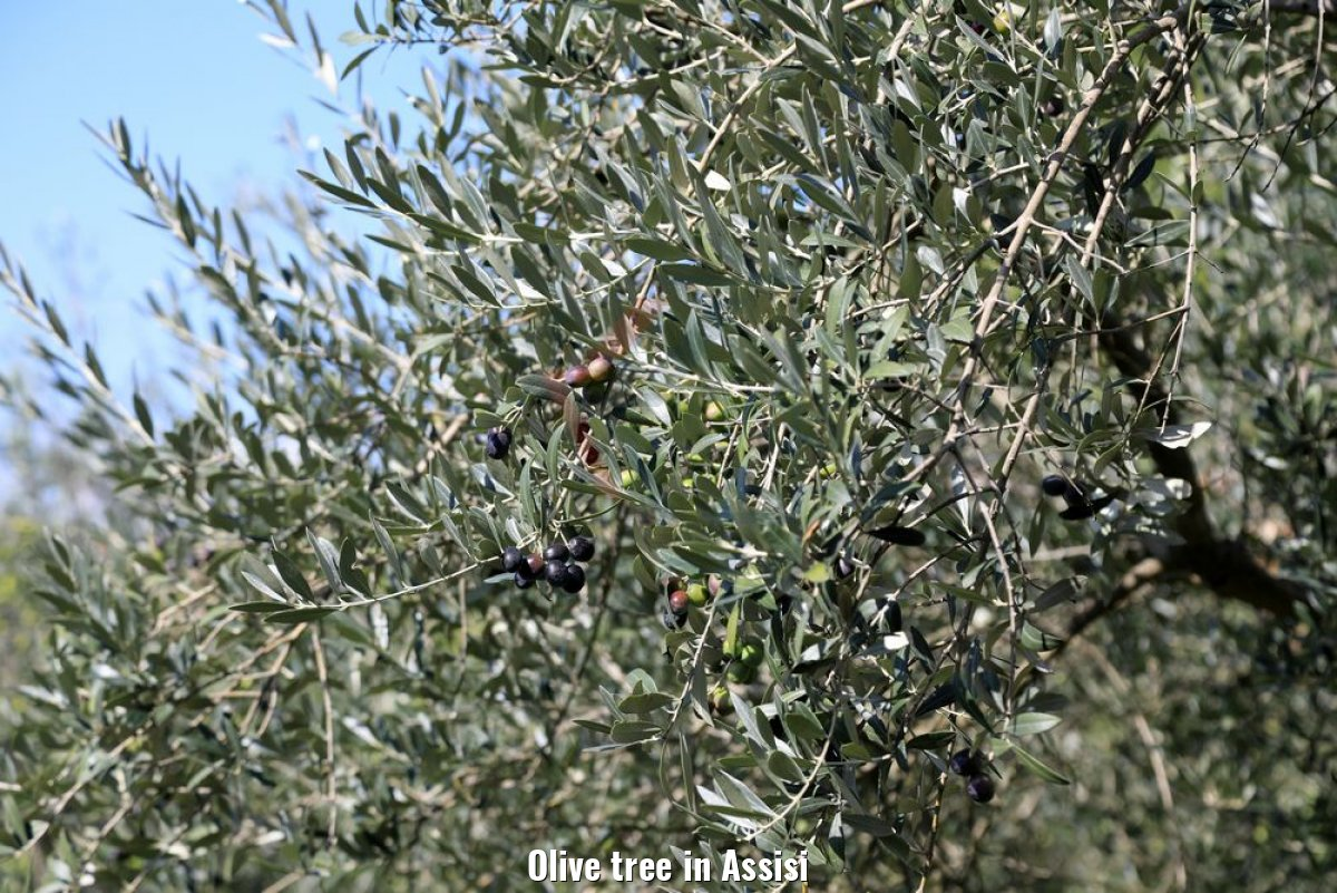 Olive tree in Assisi