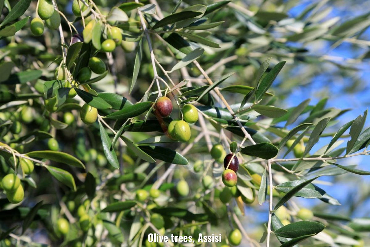 Olive trees, Assisi