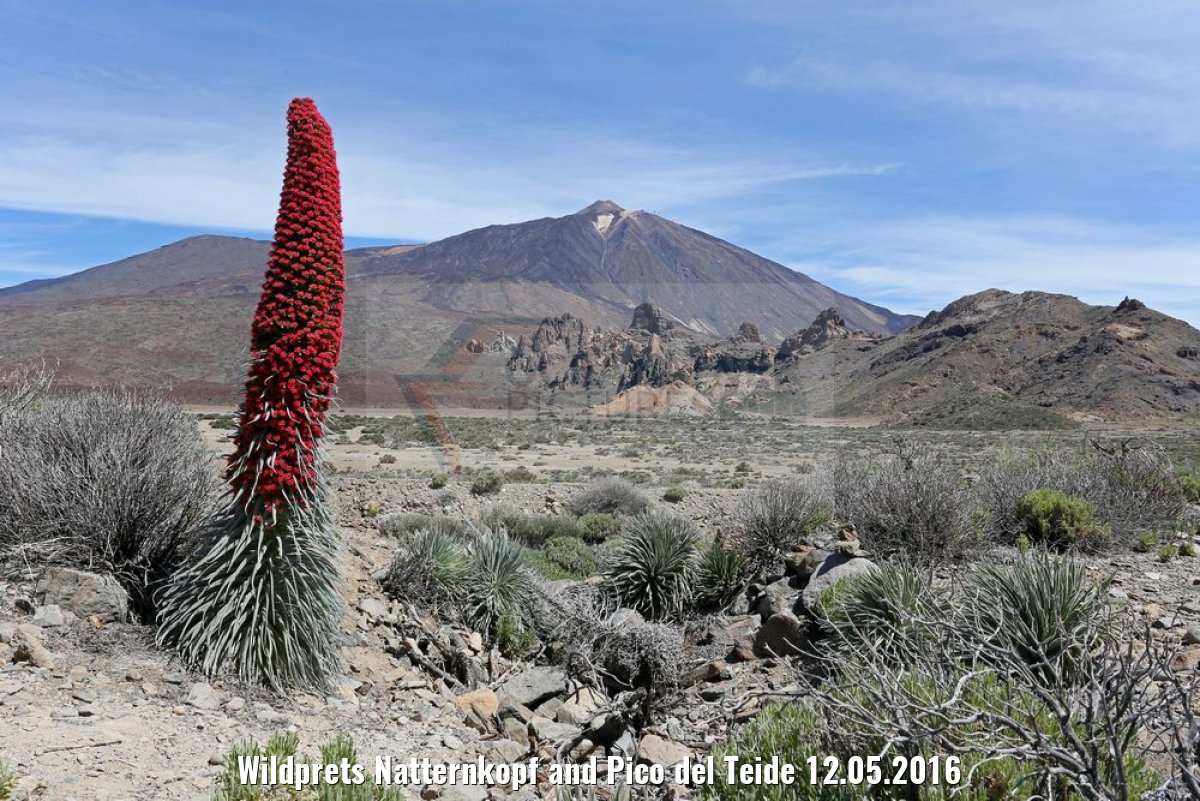 Wildprets Natternkopf and Pico del Teide 12.05.2016